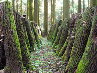 「椎茸かりんとう」に使用しているしいたけは、大分県産・原木干ししいたけです