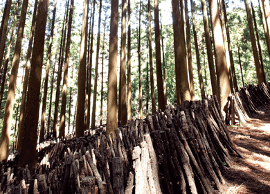 クヌギの雑木林としいたけの原木