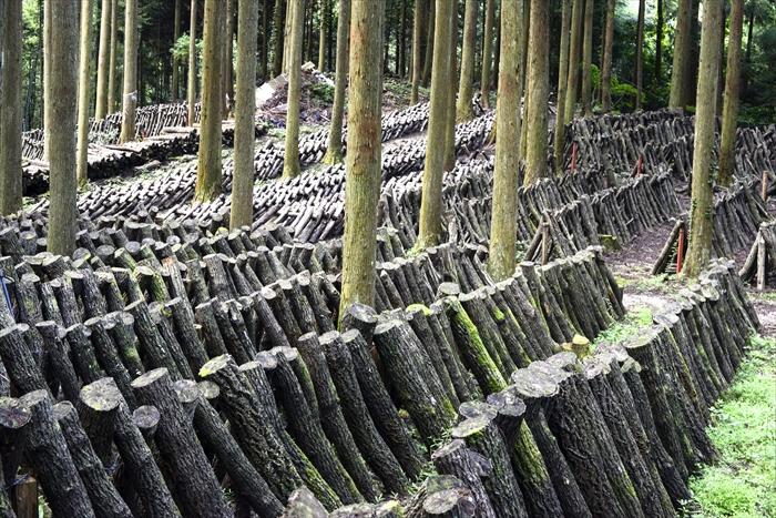 原木しいたけ_栽培方法3